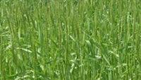 刈入れ前の麦