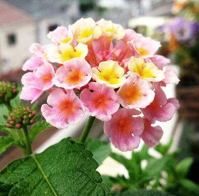 ランタナ 七変化 マーメイドセシル ピンク