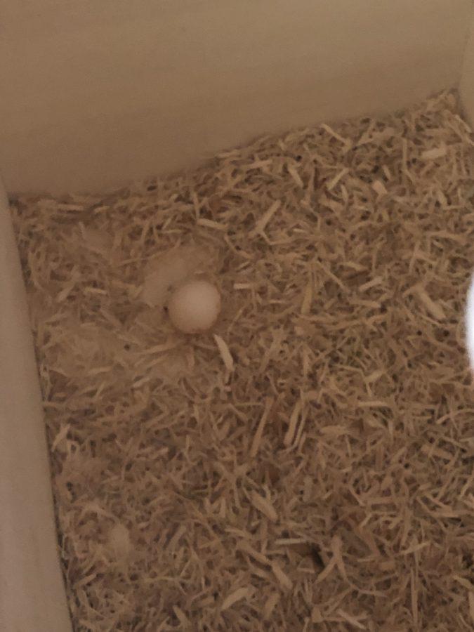 オカメインコの卵 初産