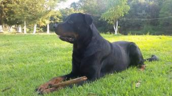 cachorro-rottweiler-para-doacao-fotos