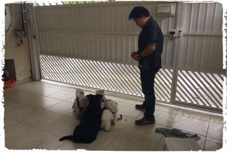 adestrando-cachorro-maltes