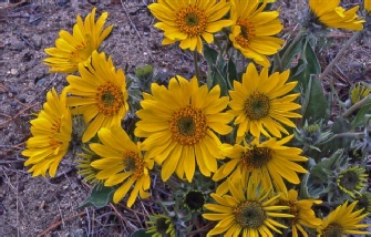 Arrow-leafed Balsamroot