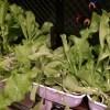 【水耕栽培】水耕栽培を始めて3か月たって思ったこと。最初は育てる品種はしぼったほうがいいかも