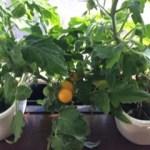 【水耕栽培】やっと涼しくなってきて、栽培に適した気温になってきました