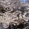 お花見は東京ではまだ穴場の石神井川で!喜ばれる地元の手土産も紹介