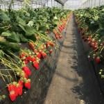 千葉のイチゴ狩りは時間制限なしや高設栽培バリアフリー等で選ぼう