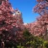 熱海桜 糸川桜まつり2019の見頃や駐車場にライトアップを写真付きでご紹介
