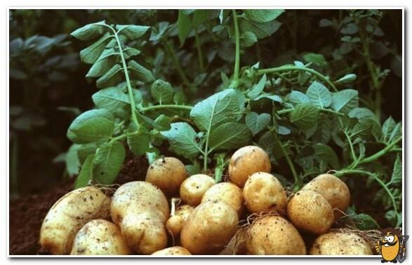 ботва картофеля янка