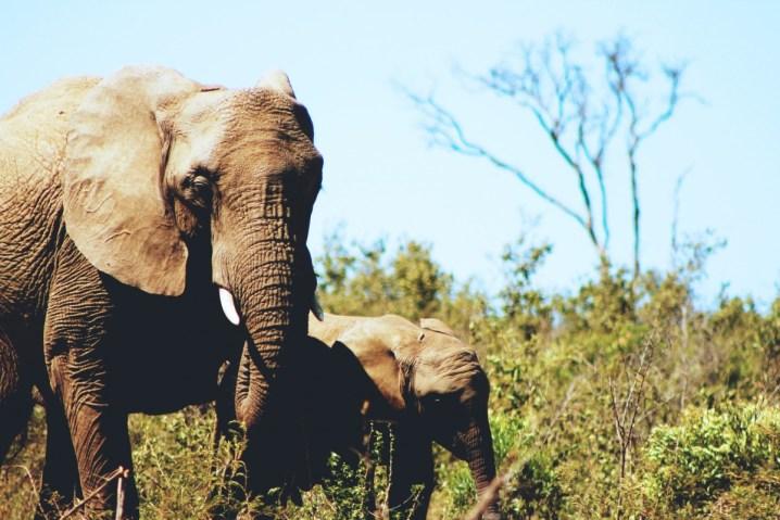 大型動物、特に「ゾウががんになりにくい」のは理由があった
