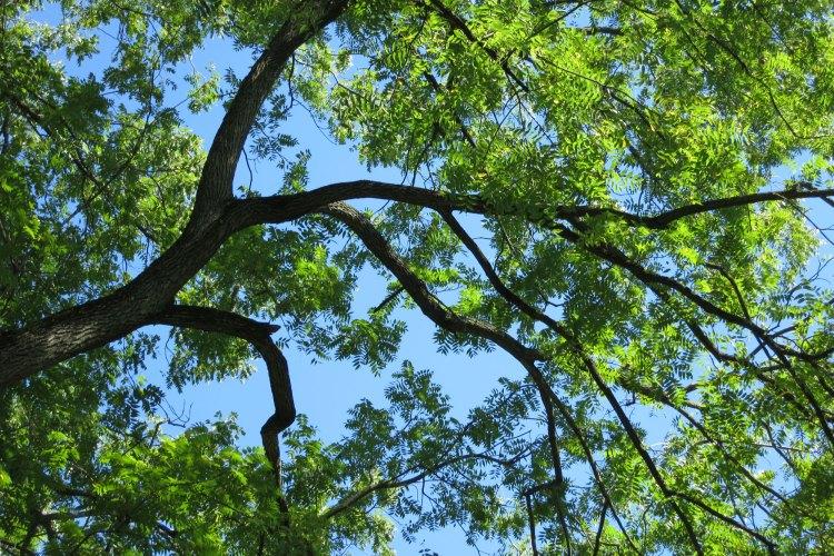 ウォールナット木