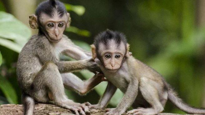Existen 264 especies conocidas de monos.