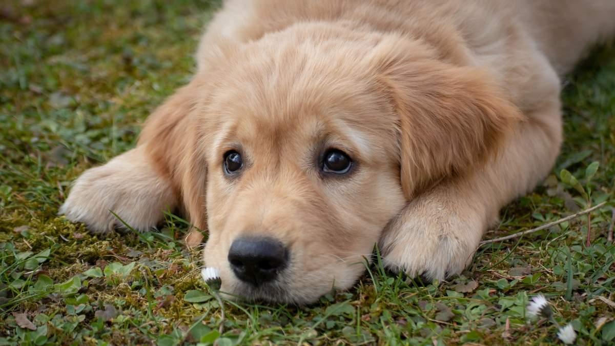 10 razas de perro españolas con un carácter muy noble y apacible