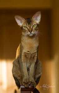 Ras kucing abyssinian