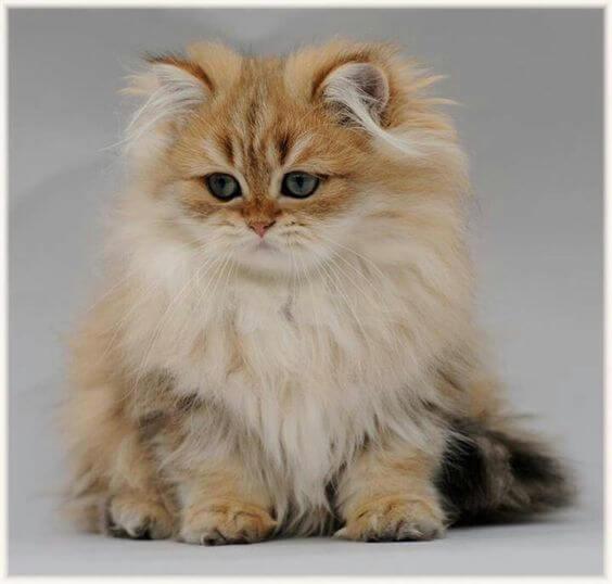 jenis kucing persia 1