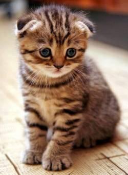 kucing  Scotish fold