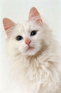 perawatan kucing anggora
