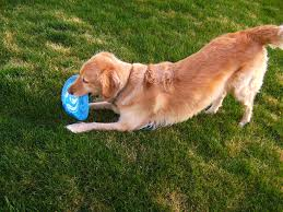 playing goldie