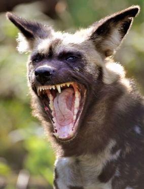 anjing rabies