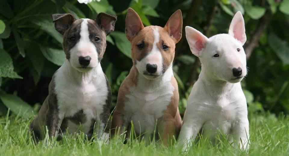 anjing Bull Terrier