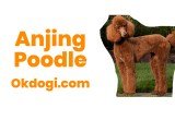 anjing poodle
