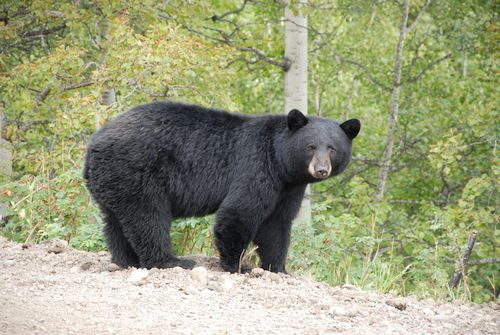 Beruang hitam