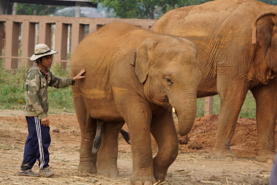 baby elephant, Elephant Nature Park, responsible tourism, volunteering, Thailand