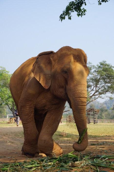responsible tourism, gentle giants, Elephant Nature Park, Thailand, volunteers