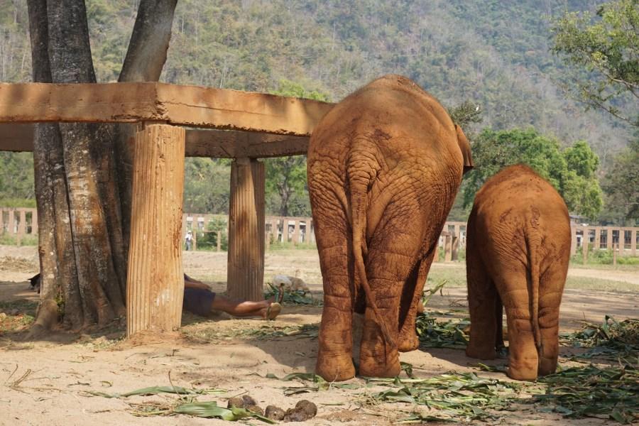 gentle giants, Elephant Nature Park, responsible tourism, Thailand, volunteer
