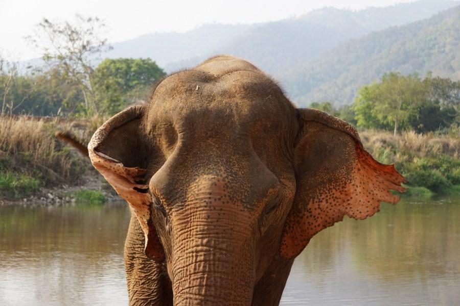 volunteer, Elephant Nature Park, feeding time, Thailand