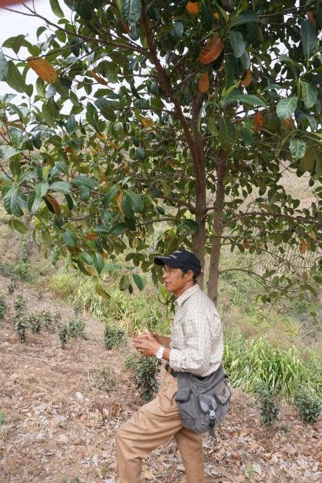 Jackfuit tree.