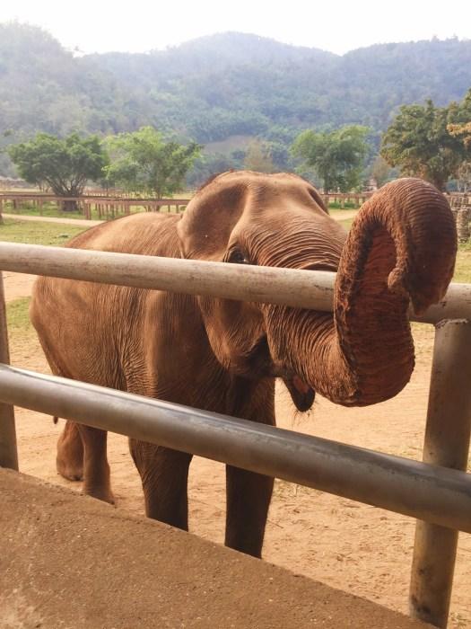 feeding time, Elephant Nature Park, Thailand, gentle giants
