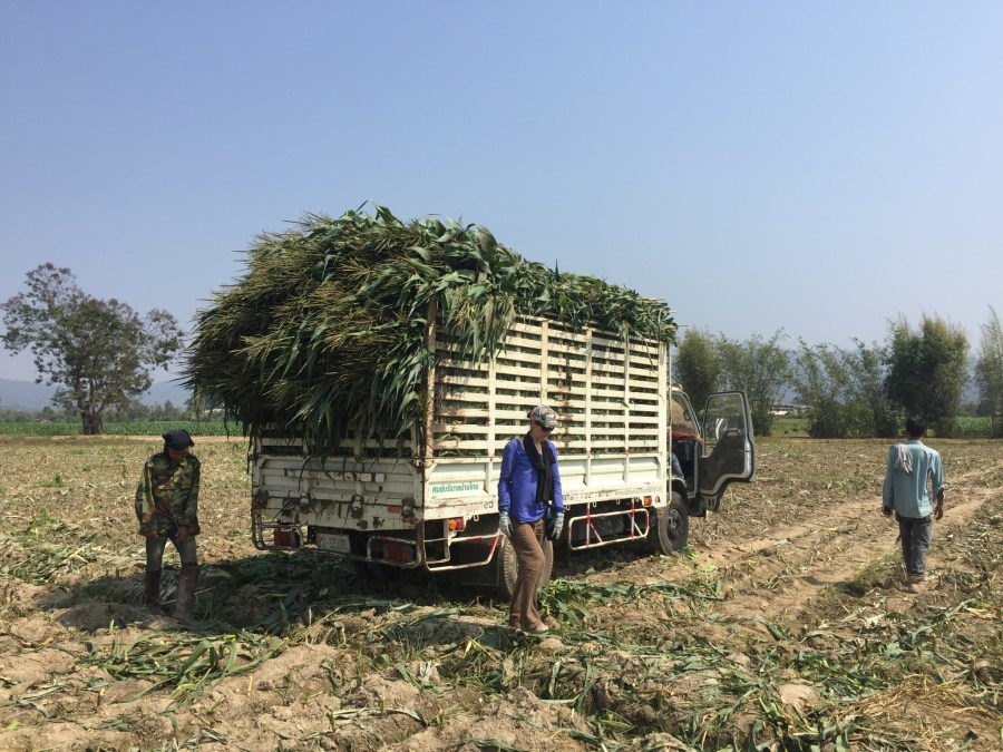 corn, trucks, volunteer, Elephant Nature Park, Thailand