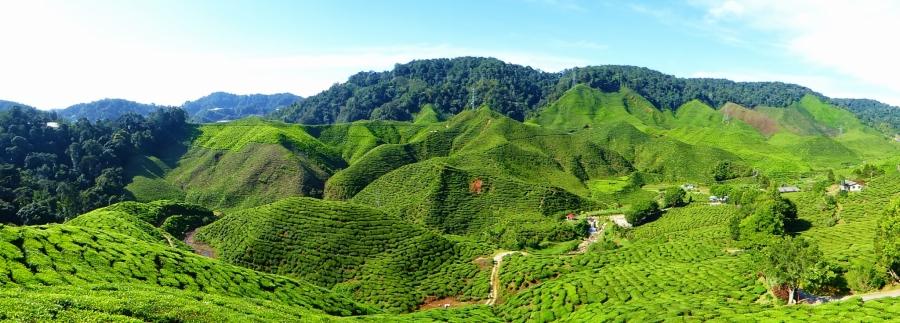 Tea plantation, Cameron Highlands, mountains, Southeast Asia, backpacking, Malaysia