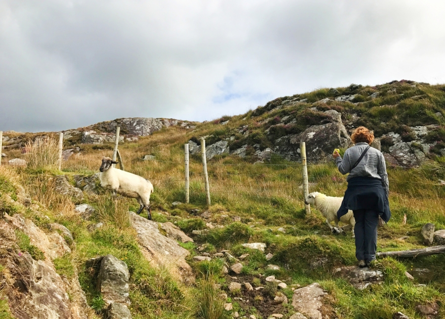 Sheep on the Beara Peninsula were a plenty while hiking to abandoned copper mines.