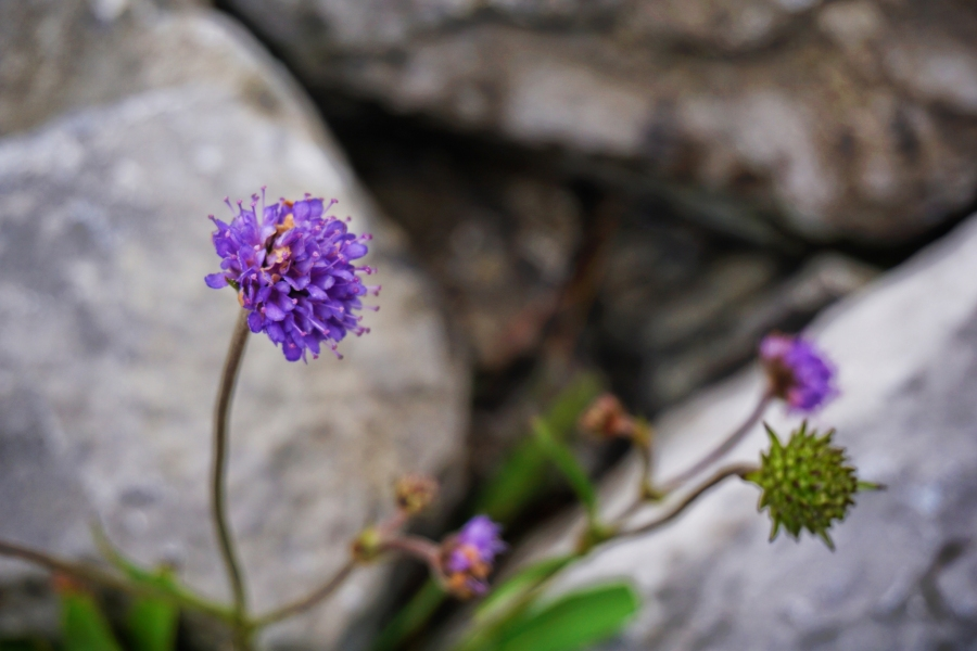 Wildflowers found in the Burren in Ireland on the Wild Atlantic Way.