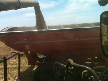Dumping wheat on the go.