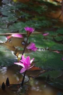 Banteay Srey lotos