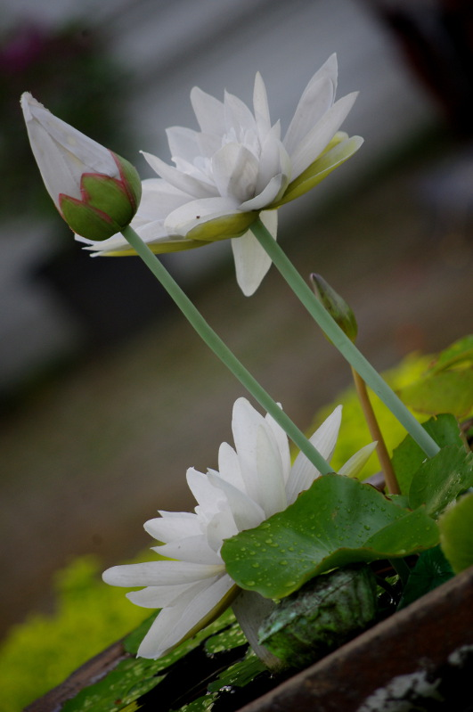 lotosy
