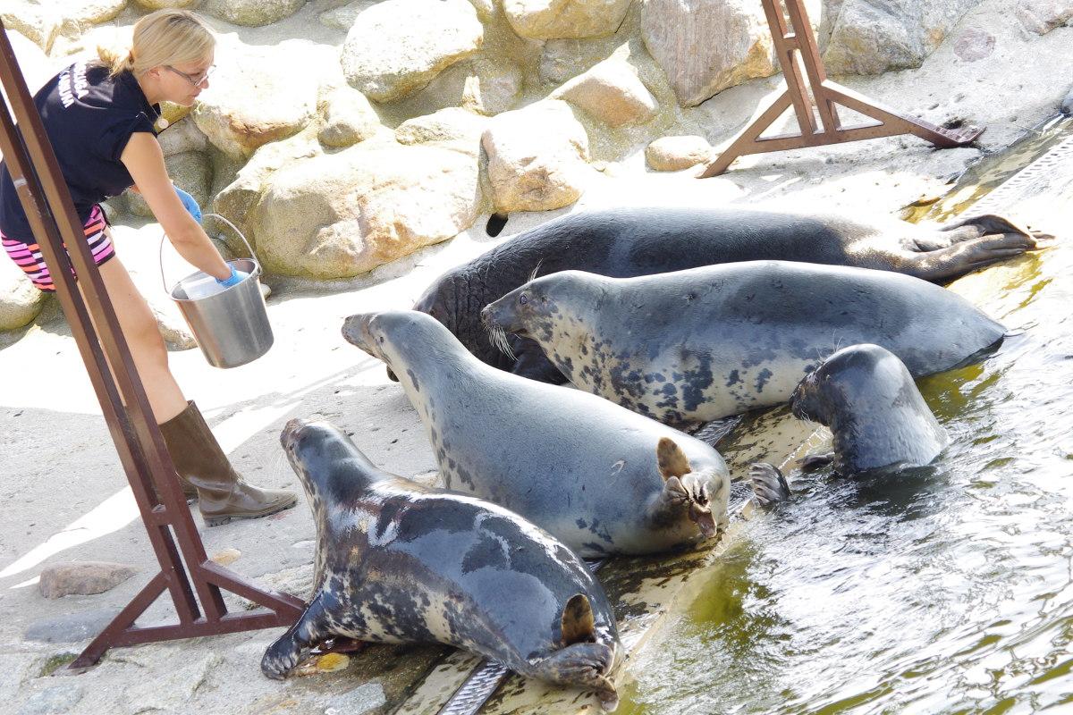 Fokarium, Hel, foki czekają na posiłek