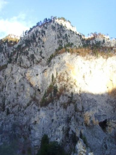 sosna czarna na górskich ścianach