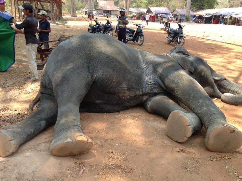 Dead elephant źródło: Yem Senok/Facebook https://www.facebook.com/photo.php?fbid=460935380763673&set=pcb.460935450763666&type=3&theater