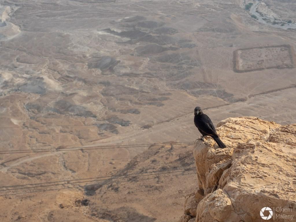 Czarnotek arabski i ślady dawnych stanowisk rzymskich - twierdza Masada