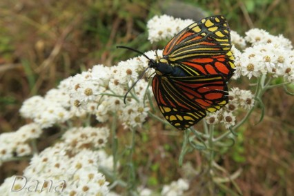 Witrażowe motyle