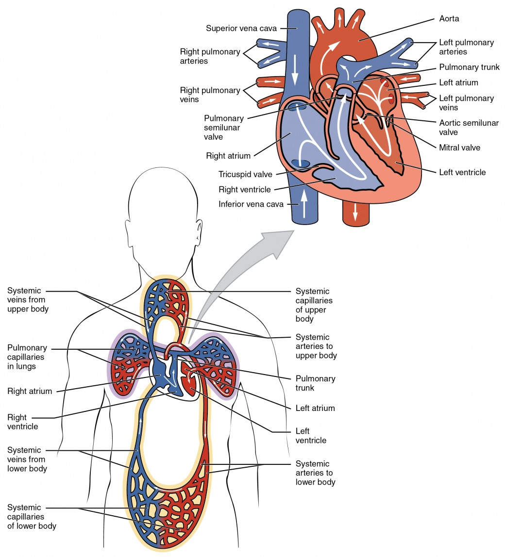 Circulatory System Coloring Pages Collection