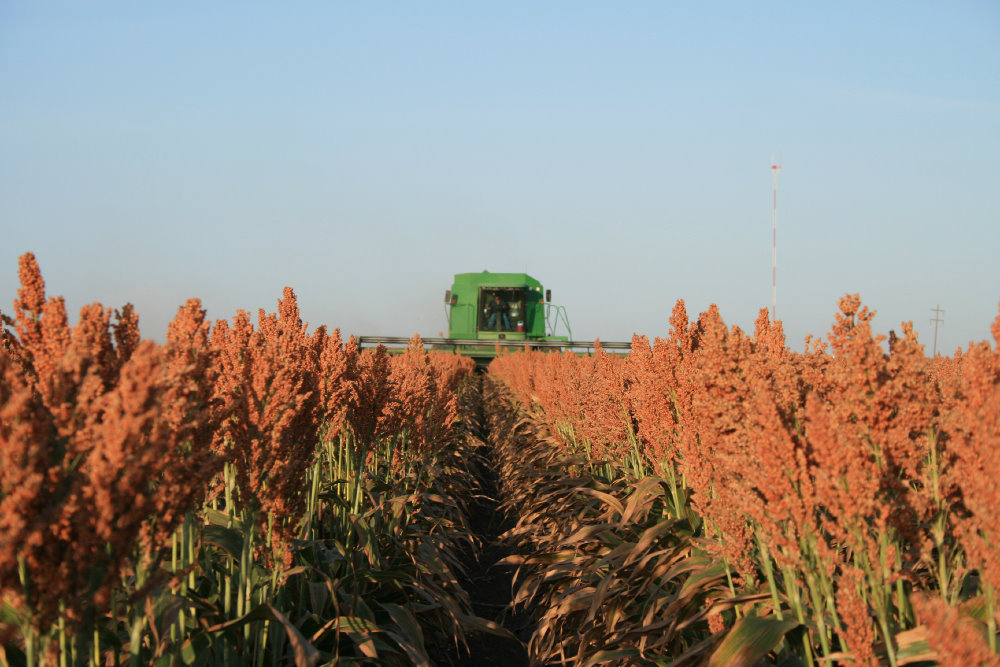 https://i1.wp.com/oklahomafarmreport.com/wire/news/2014/06/media/07813_SorghumHarvest.jpg