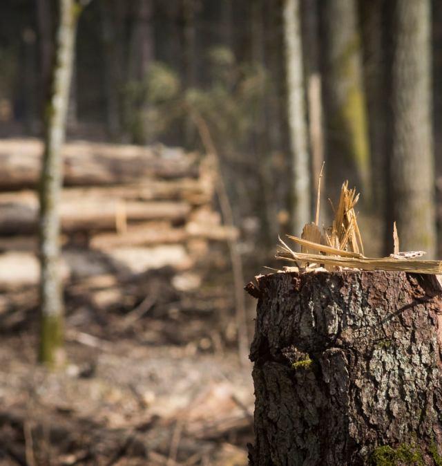 Ustawa o OZE - senat przeciw masakrze lasów
