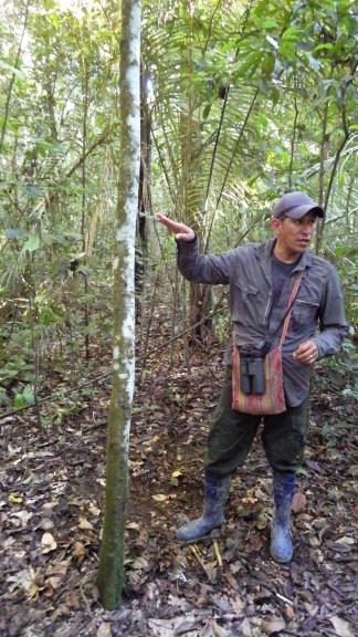 Amilcar pokazuje stablo u kojem žive vatreni mravi. Dobili su ime po žarenju koje uzrokuje njihov ugriz. Stablo se može prepoznati po tome što metar oko njega, zbog mravlje kiseline, ne rastu nikakve biljke.