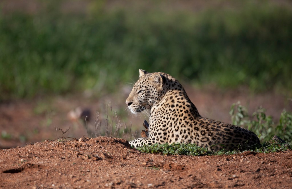 leopard on okonjima lodge
