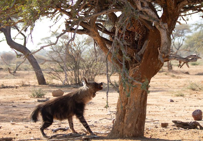 brown hyaena and leopard in Okonjima reserve