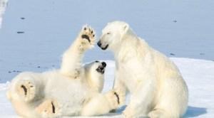 ku5 300x166 - Kutuplardaki hayvanlar nasıl yaşıyorlar?